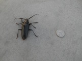 Giant beetle by our house (it's real!)