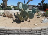 Mickey Mouse Cactus (a.k.a. Prickly Pear)
